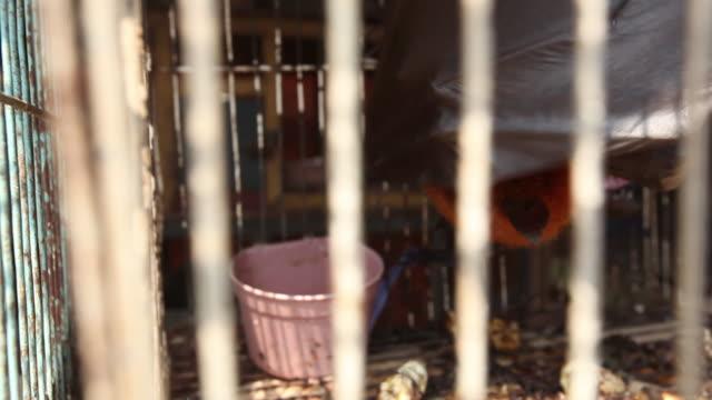 fruit bat hangs in cage in animal market. - pipistrello video stock e b–roll
