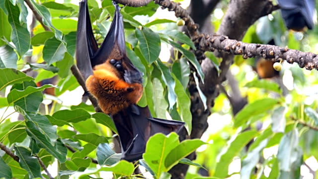 Fruit bat on the tree.