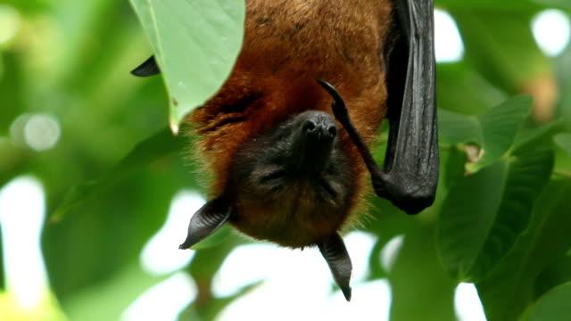 Fruit bat on the tree