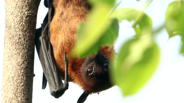 stockvideo's en b-roll-footage met fruit bat on the tree - colony