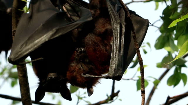 fruit bat on the tree - colony stock videos & royalty-free footage