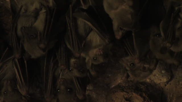 fruit bats (family pteropodidae) bats cleaning wings, israel - mittelgroße tiergruppe stock-videos und b-roll-filmmaterial