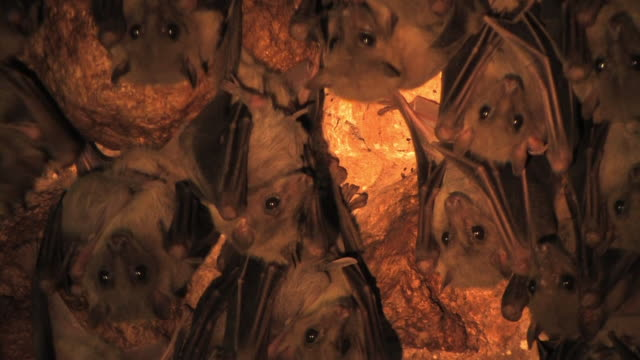 Fruit bats (family Pteropodidae) CU bats hanging on rock, artificial light, Israel