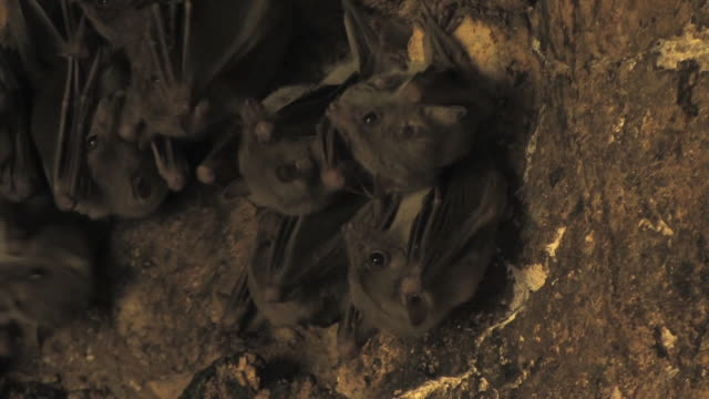 fruit bats (family pteropodidae) females, all react simultaneously, israel - gruppo medio di animali video stock e b–roll