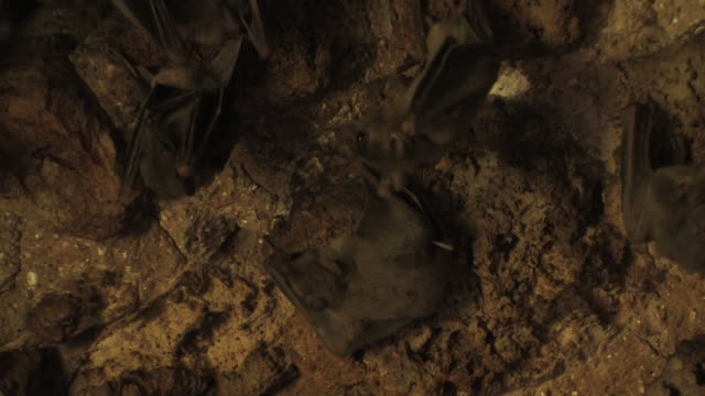 fruit bats (family pteropodidae) few bats hanging on cave ceiling, israel - cave stock videos & royalty-free footage