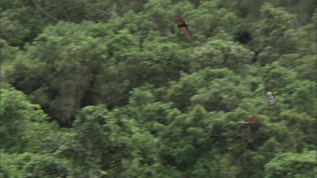 Fruit bats (Pteropus sp.) fly over forest, Fiji