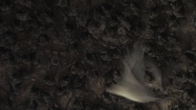 Fruit Bats (family Pteropodidae) flying within cave, Israel