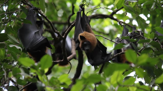 Obst Bats hängen Upside Down - 2