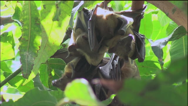 stockvideo's en b-roll-footage met shaky fruit bats hanging upside down from a tree / thies, senegal - shaky