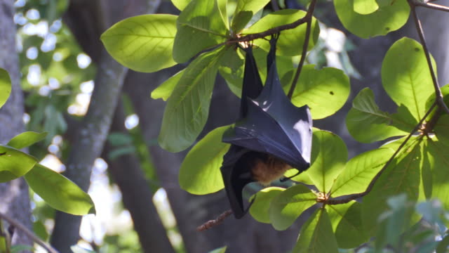 Fruit Bats Hanging Upside Down on tree.