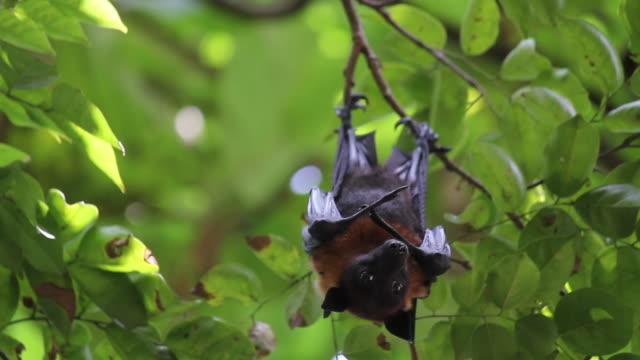 fruit bats hanging upside down - hanging stock videos & royalty-free footage