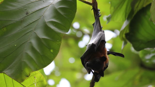 Fruit Bats Hanging Upside Down