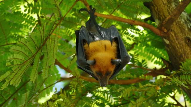 Fruit Bats Hanging Upside Down.