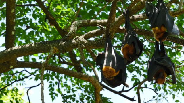 Obst Bats hängen auf den Kopf gestellt.