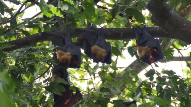 Flughunde Hanging Upside Down mit seiner Cub.