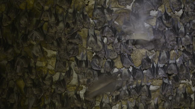 fruit bats - colony group of animals stock videos & royalty-free footage