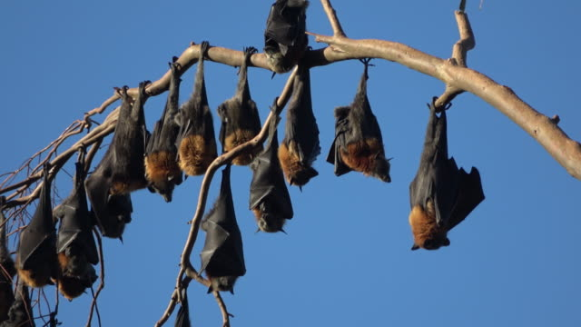 fruit bats - hanging stock videos & royalty-free footage