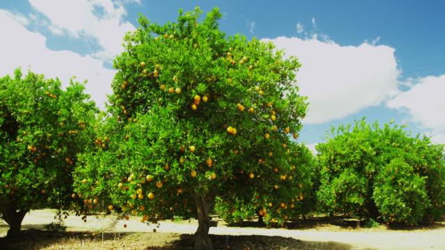 fruit bearing orange trees - オレンジ果樹園点の映像素材/bロール