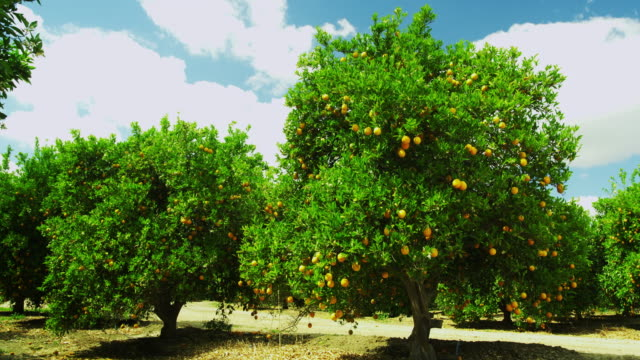 stockvideo's en b-roll-footage met fruit bearing orange trees - boomgaard