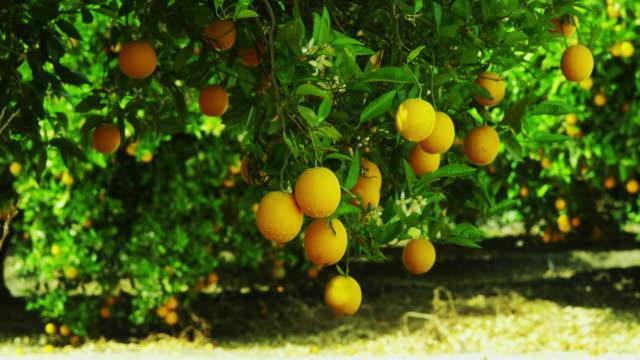 fruit bearing orange trees - オレンジの木点の映像素材/bロール