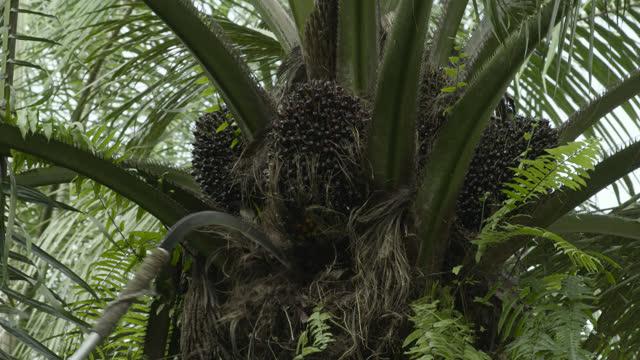 vídeos y material grabado en eventos de stock de fruit being cut from oil palm, sumatra. - monocultivo