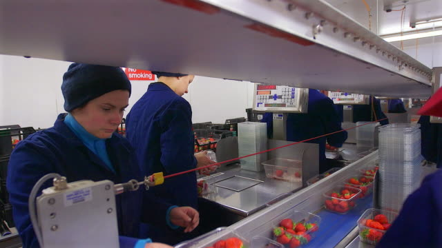 Fruit farm workers sort and package harvested strawberries in modern agricultural plant.