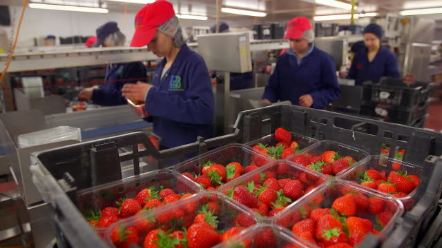 vidéos et rushes de fruit farm workers sort and package harvested strawberries in modern agricultural plant. - contrôle qualité