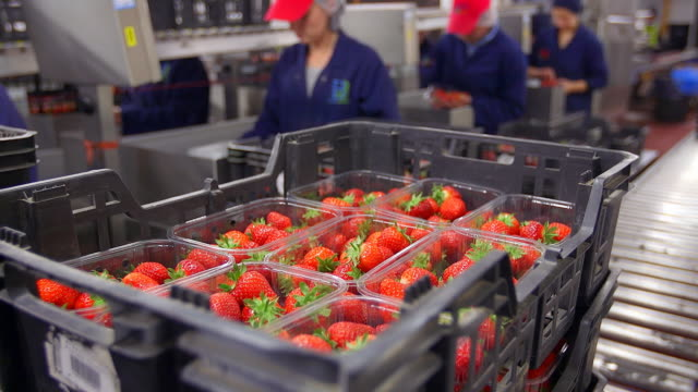 fruit farm workers sort and package harvested strawberries in modern agricultural plant. - medium group of people stock videos & royalty-free footage