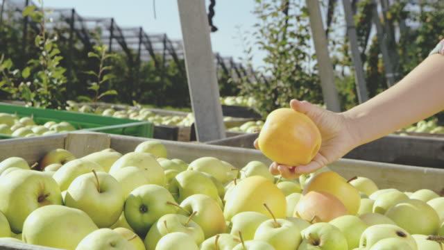 ds cu obst landwirt prüfung äpfel - holzkiste stock-videos und b-roll-filmmaterial