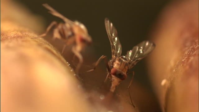 fruit flies crawl around and feed. - gliedmaßen körperteile stock-videos und b-roll-filmmaterial
