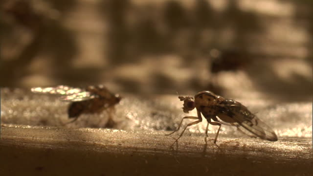 fruit flies feed from a sticky surface. - gliedmaßen körperteile stock-videos und b-roll-filmmaterial