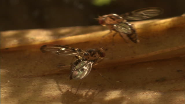fruit flies interact and flutter their wings. - gliedmaßen körperteile stock-videos und b-roll-filmmaterial