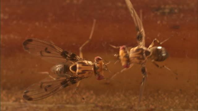 fruit flies interact. - gliedmaßen körperteile stock-videos und b-roll-filmmaterial