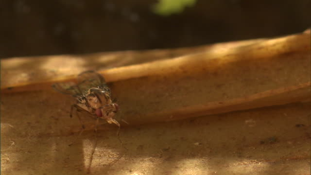 a fruit fly clings to a hunk of wood. - gliedmaßen körperteile stock-videos und b-roll-filmmaterial