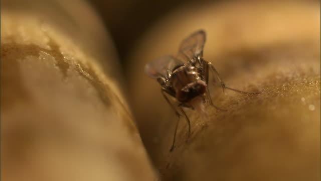 a fruit fly feeds. - gliedmaßen körperteile stock-videos und b-roll-filmmaterial