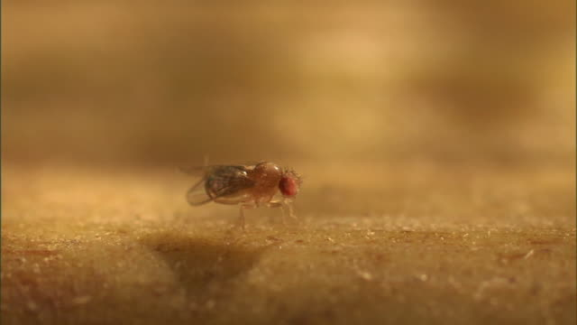 a fruit fly grooms its legs and then ambles away. - gliedmaßen körperteile stock-videos und b-roll-filmmaterial