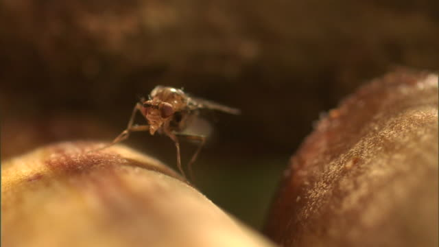 a fruit fly grooms its legs and wings. - gliedmaßen körperteile stock-videos und b-roll-filmmaterial