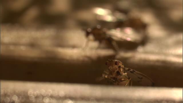 a fruit fly rubs its front legs together. - gliedmaßen körperteile stock-videos und b-roll-filmmaterial