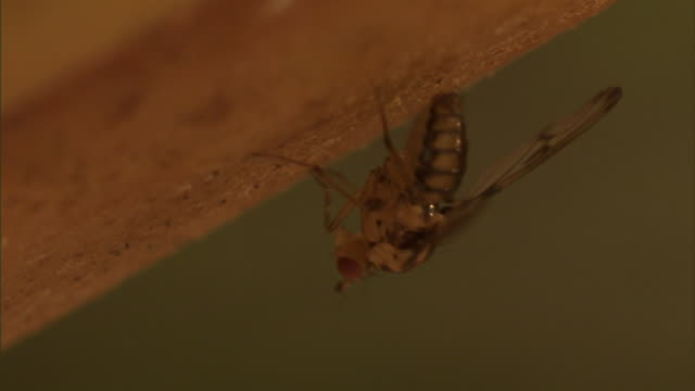 a fruit fly rubs its legs together. - gliedmaßen körperteile stock-videos und b-roll-filmmaterial