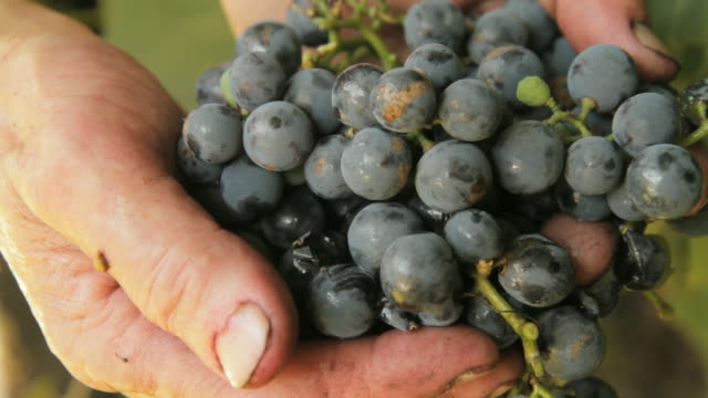 HD: Fruit Grower Holding Grapes