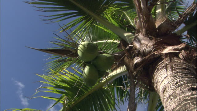 Fruit hangs from a palm tree on Chichijima Island.