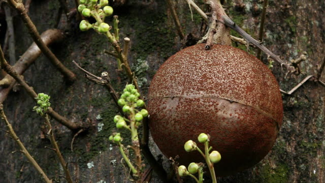 vídeos de stock e filmes b-roll de cu fruit of cannonball tree / onomea, big island,hawaii, united states - árvore tropical
