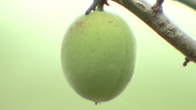 a fruit of japanese apricot, tokyo, japan - unripe stock videos and b-roll footage