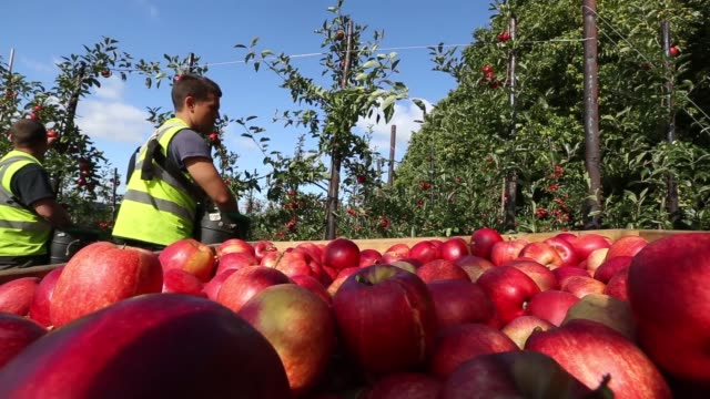 Fruit pickers harvest royal gala apples at AC Goatham Sons' orchard in Upchurch UK on Tuesday Oct 8 Royal gala apples sit on trees ready for harvest...