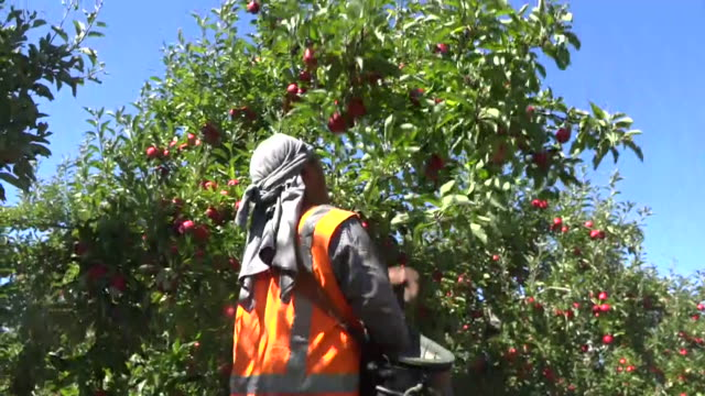 fruit pickers harvesting apples on hawke's bay orchard new zealand - harvesting stock videos & royalty-free footage
