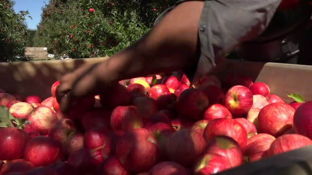 fruit pickers harvesting apples on hawke's bay orchard, new zealand. - fruit stock videos & royalty-free footage