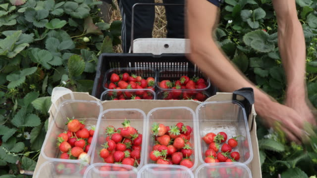 vidéos et rushes de fruit pickers on plantation and workers in fruit packing plant in hereford herefordshire united kingdom on tuesday august 21 2018 - fraise