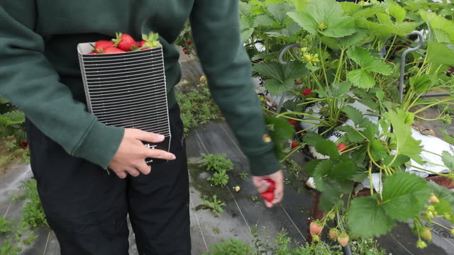 fruit pickers picking strawberries and rasberries at a farm in milford, surrey, uk, on monday, june 6, 2020. - bush stock videos & royalty-free footage