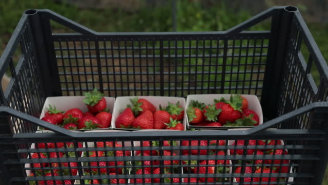 fruit pickers picking strawberries and rasberries at a farm in milford, surrey, uk, on monday, june 6, 2020. - basket stock videos & royalty-free footage