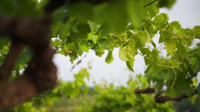 vídeos y material grabado en eventos de stock de fruit setting of a vine in spring. - grape leaf